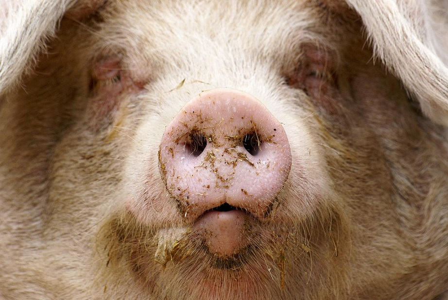 schwein_schweinerei_schweinestall_george_orwell_farm_der_tiere_some_animals_are_more_equal_than_others_kritisches_netzwerk_massentierhaltung_ausbeutung_wohlstand_pig_pigs.jpg